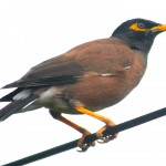 Mynah Bird in Hawaii